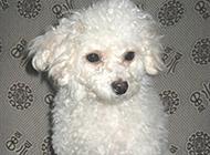 梗类犬所有品种精美图片