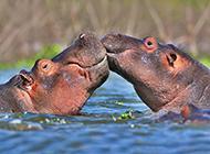 兇猛高大的水生動物大河馬圖片