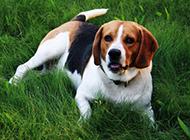 乖巧的小獵兔犬草地可愛圖片