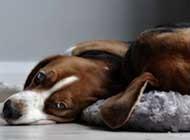 可爱聪明的比格犬高清图片