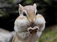 可爱的萌宠花栗鼠图片