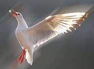 海鸥翱翔高清图片赏析