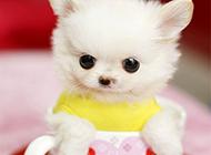 超可爱迷你茶杯犬图片