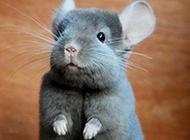 撒娇卖萌的灰栗鼠图片