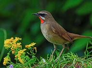小型鸟类红点颏山林特写图鉴