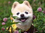 置身花丛中的日本俊介犬图片