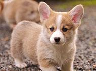 威爾士柯基犬小巧可愛圖片