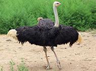 體態優雅的鴕鳥圖片