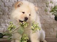 超萌的松獅犬小時候圖片