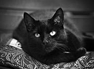 溫順優雅的孟買貓圖片