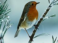 農林益鳥知更鳥的圖片