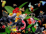 水族箱的高級品種孔雀魚圖片