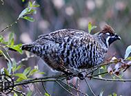 野生飞龙鸟斑纹艳丽图片