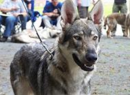 表情兇狠的捷克狼犬圖片
