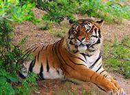 大型貓科動物孟加拉虎圖片
