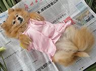 狐貍犬幼犬可愛撒嬌圖片