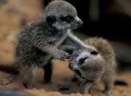 心爱的猫鼬野外生活高清图片