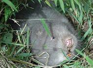 野生竹鼠怀孕图片