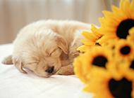 金毛寻回犬幼犬睡觉可爱图片