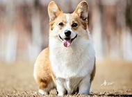 卡迪根威爾士柯基犬唯美高清圖片