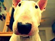 個性活躍的牛頭梗犬高清圖片