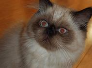 喜马拉雅种猫惊讶呆愣表情图片