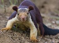 警惕機靈的海南巨松鼠圖片