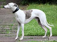 純惠比特犬優雅自信圖片