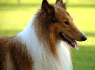 純種蘇格蘭牧羊犬頭部特寫圖片