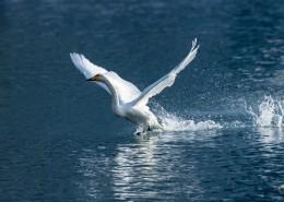 白色的天鹅图片_9张