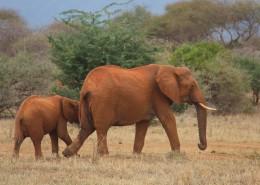 走在一起的大象和小象图片_13张