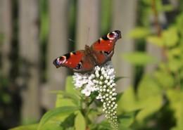 漂亮的孔雀蝴蝶图片_13张