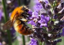 采蜜的小蜜蜂图片_14张
