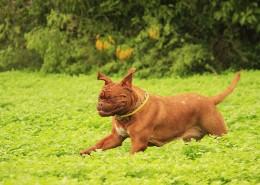 在草地玩耍的波尔多犬图片_12张