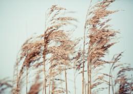 漂亮柔韌的蘆葦圖片_12張