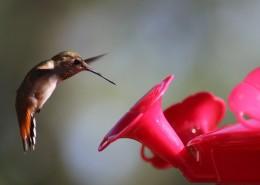 玲珑小巧的蜂鸟图片_13张