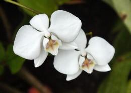 白色的蝴蝶蘭圖片_16張