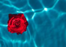 泳池中的玫瑰圖片_11張