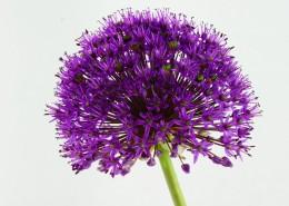 紫色的观赏葱图片_10张