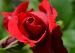 鮮艷的紅色玫瑰圖片_13張