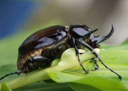 力大年夜惊人的犀牛甲虫图片_16张