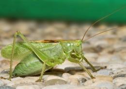 一只绿色的蚱蜢图片_15张