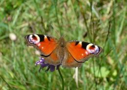 草叢中的孔雀蝴蝶圖片_13張