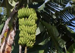 树上未采摘的香蕉图片_15张