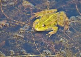 池塘里的青蛙图片_14张