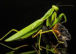 绿色的螳螂图片_13张
