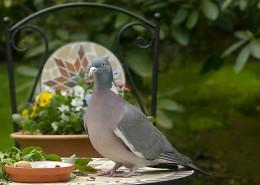 一只灰色鸽子图片_13张