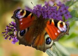 漂亮的孔雀蝴蝶图片_12张