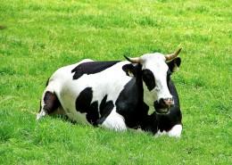 草地上悠闲的奶牛图片_11张