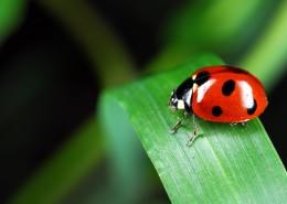 綠葉上的瓢蟲圖片_13張